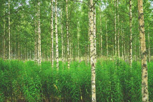 フィンランドの木々